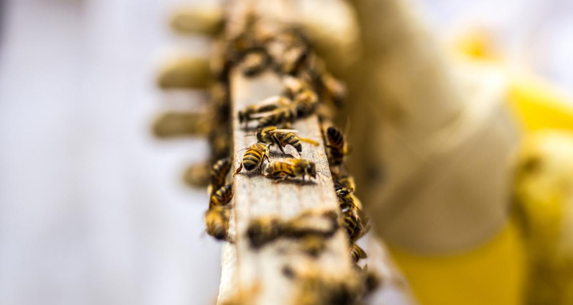 Carmel Valley Ranch Bees