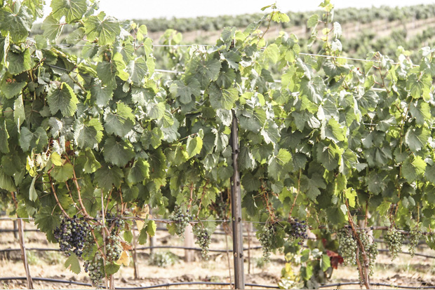 The vines at the Bergevin Lane Vineyard in Walla Walla almost ready for harvest