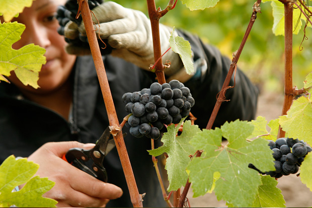 Harvesting Pinot Noir grapes at the Adelsheim Winery
