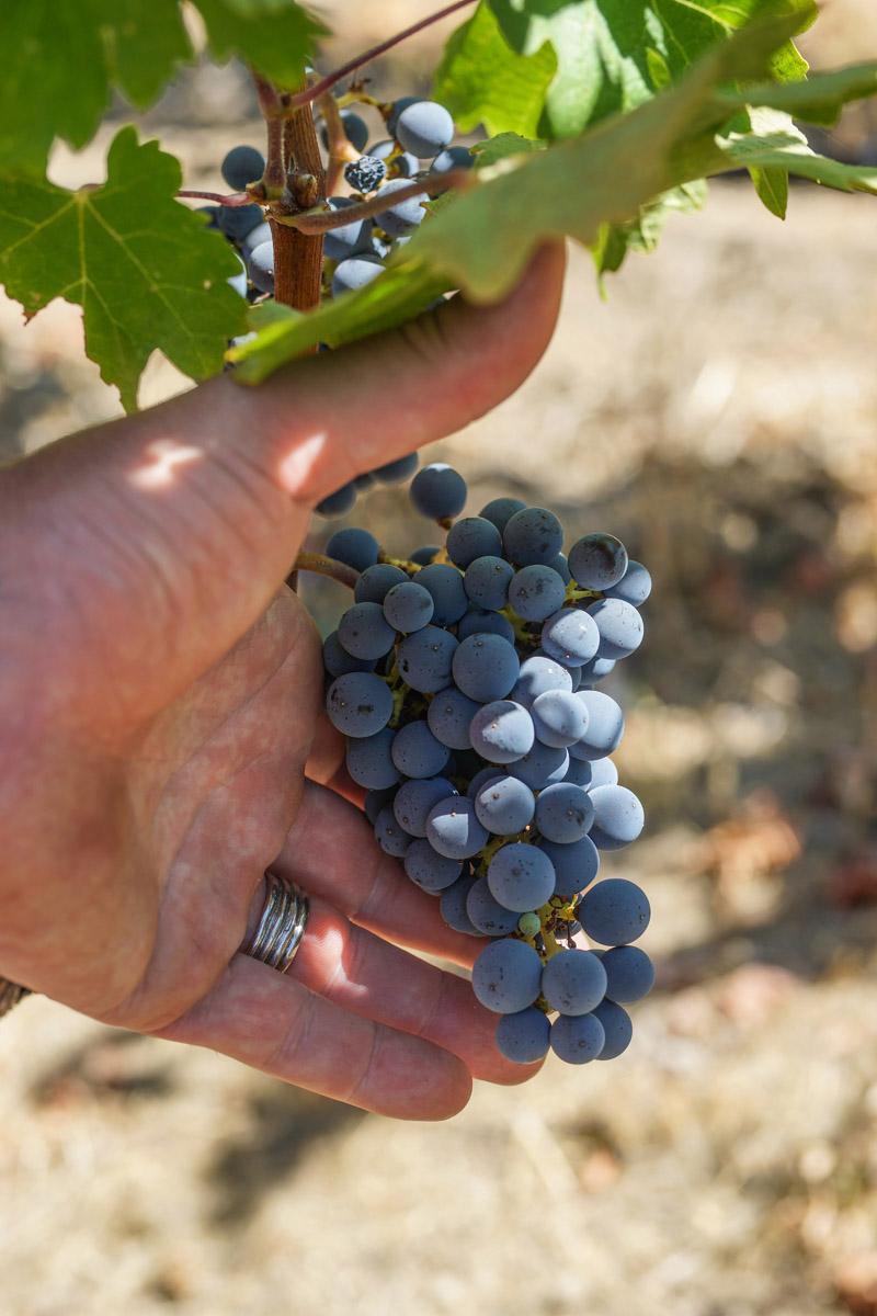 Grape Cluster at Shafer Vineyard
