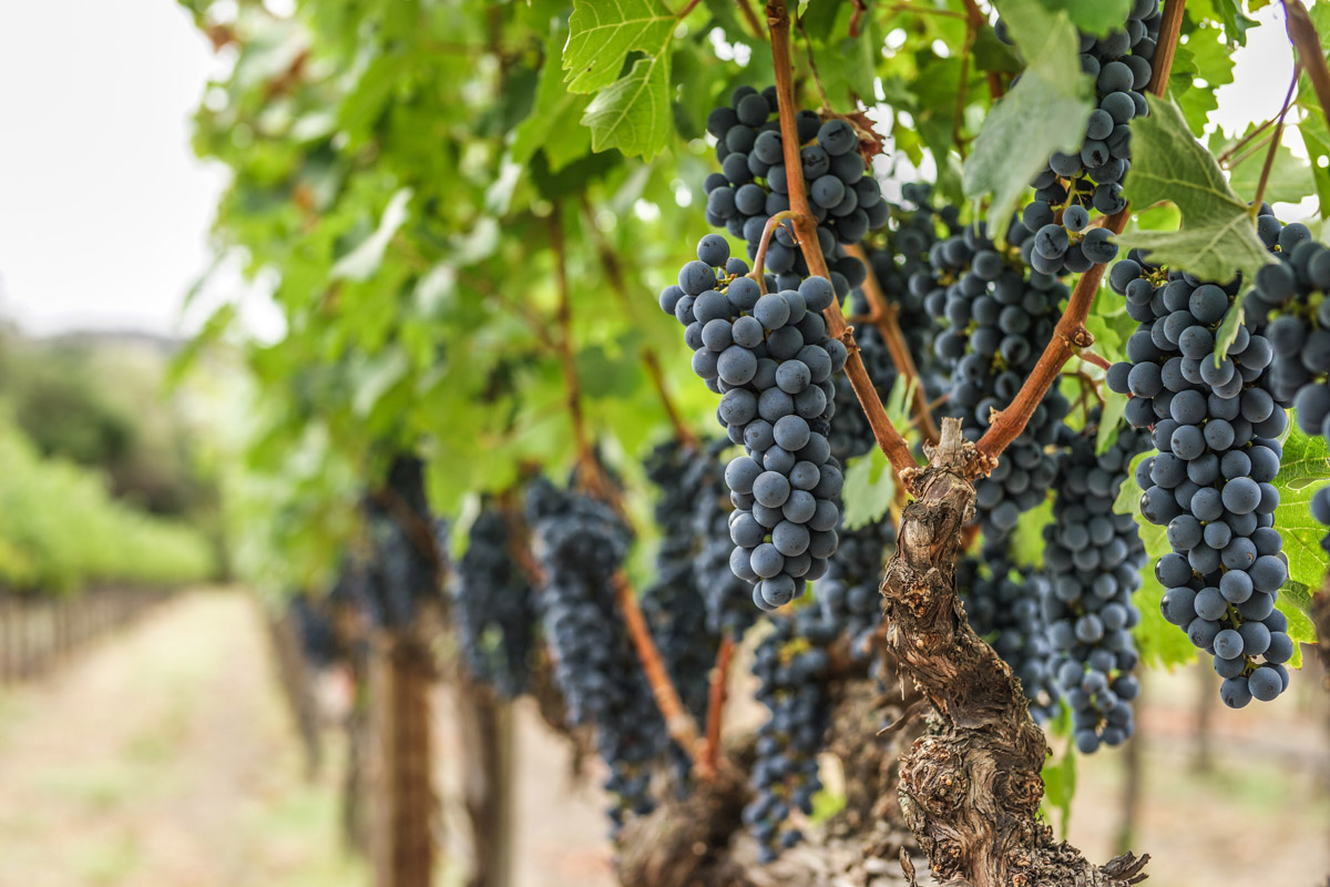 Grape Cluster from Fay Block at Stag's Leap Vineyard